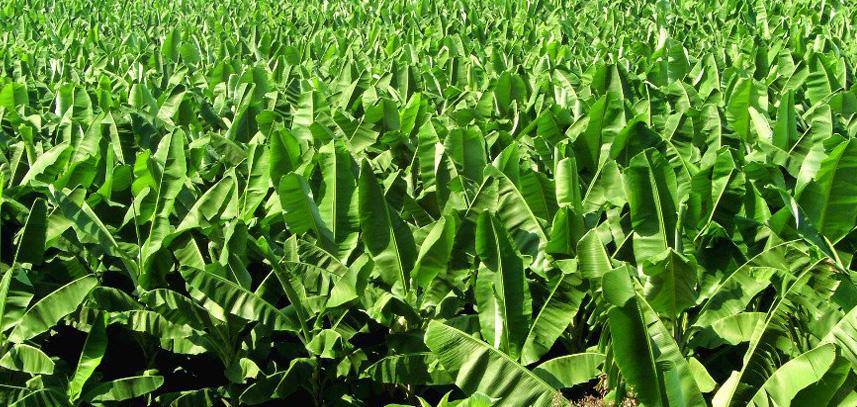 香蕉种植技术指导基地