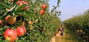 昭通苹果种植技术指导基地