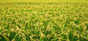 水稻种植技术指导