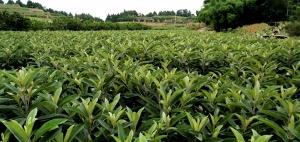 枇杷种植技术指导