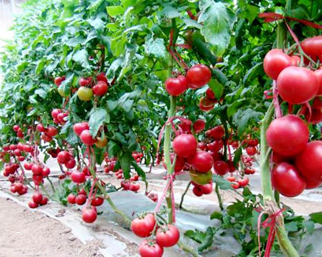 富硒西红柿
