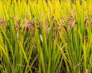 烟台富硒水稻